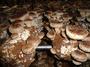 Shiitake Mushroom Spawn, Mushroom Logs